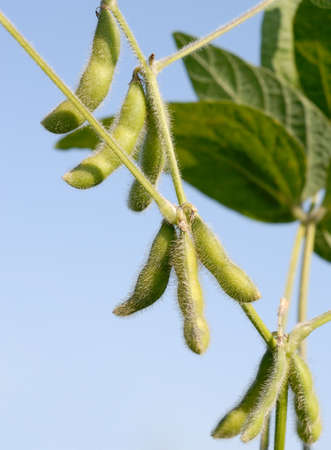 monoculture: Growth Soybeans