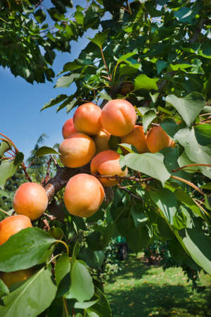 Apricots on a branch photo