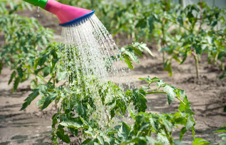 wateringcan: watering seedling tomato for watering-can
