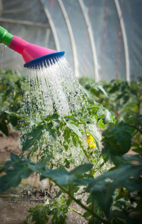 watering seedling tomato for watering-can photo