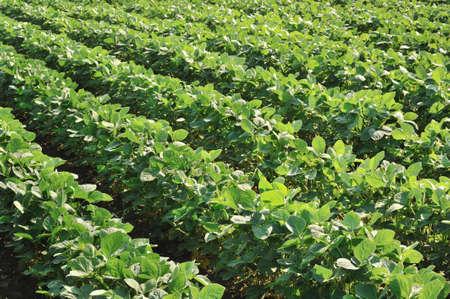 soya: campo de soja con hileras de plantas de frijol de soja