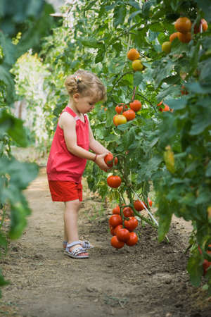 veges: girls picked tomatoes Stock Photo