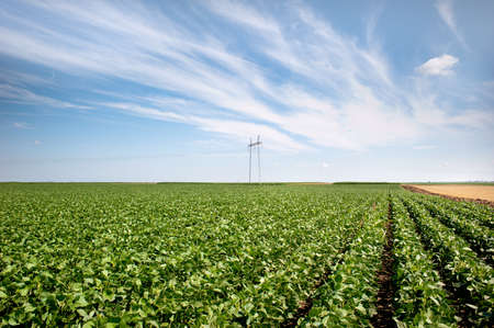 soya bean plant:  Field of  Soybean  with power pole