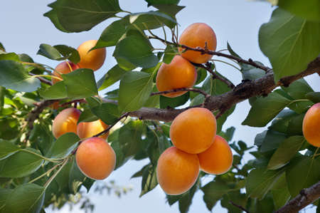Ripe apricots on a green branch photo