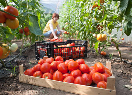 Woman picking fresh tomatoes in greenhouse Stock Photo - 9947427