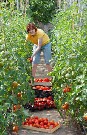 Woman picking fresh tomatoes in greenhouse Stock Photo - 9947434