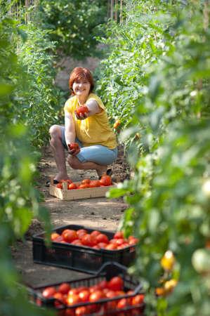 온실에서 신선한 토마토를 따기 여자 스톡 콘텐츠
