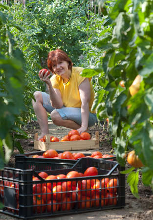 Woman picking fresh tomatoes in greenhouse Stock Photo - 9947421