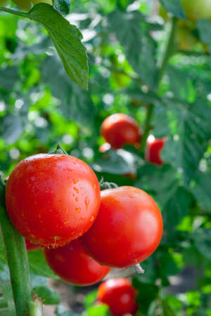 monoculture: ripe tomatoes ready for picking Stock Photo