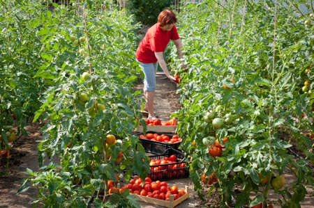Woman picking fresh tomatoes in greenhouse Stock Photo - 10038114