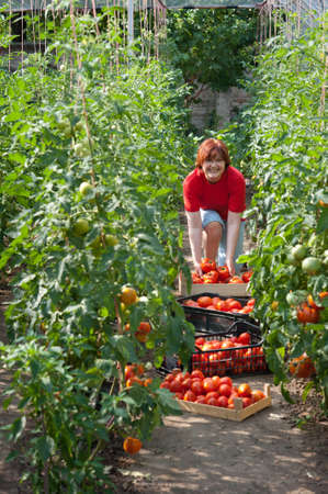Woman picking fresh tomatoes in greenhouse Stock Photo - 10101572