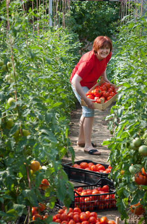 Woman picking fresh tomatoes in greenhouse Stock Photo - 10101188