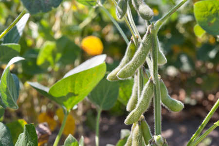 field soybeans in early autumn photo