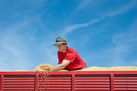 Worker holding soy beans after harvest at tractor trailer photo