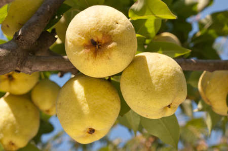 a bunch of fresh tasty pears hanging on a tree photo