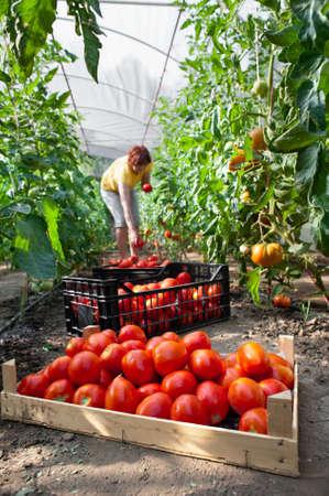 invernadero: Mujer recogiendo tomates frescos en el invernadero Foto de archivo