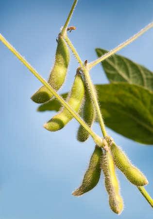 planta de frijol: Primer plano de la planta de frijol de soja en el campo Foto de archivo