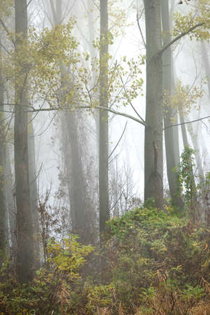 forest  with trees and fog photo