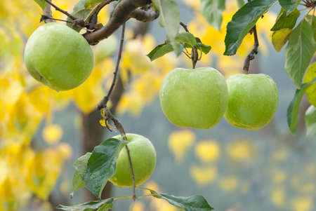 riped:  autumn apples on the tree