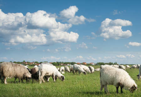 non cultivated: sheep on pasture