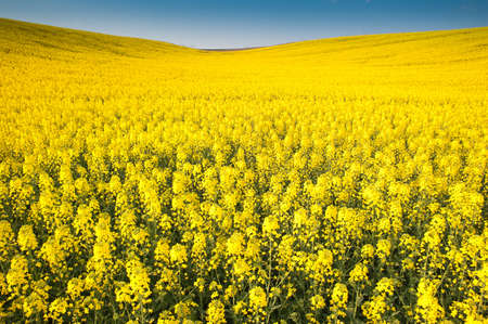 Yellow field rapeseed in bloom  Stock Photo