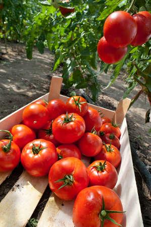 kassen: rijpe tomaten klaar voor het plukken