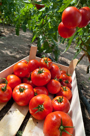 ripe tomatoes ready for picking Stock Photo