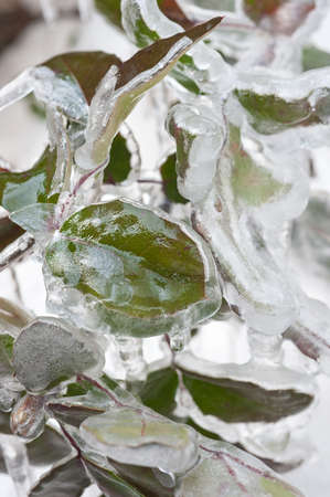 shiver:  frozen leaves Stock Photo