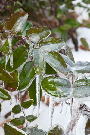 winter thaw:  frozen leaves Stock Photo