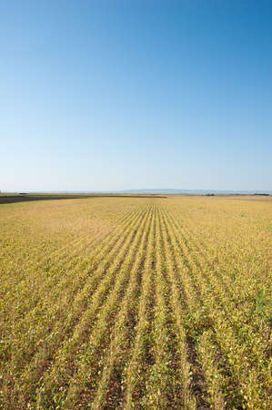 soybean fields  in the autumn photo