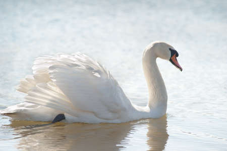 white swan floating on a surface of the lake photo