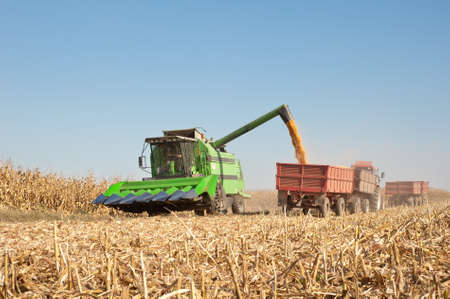 corn field: Loading of grain of corn in the  tractor trailer