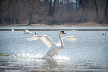swimming swan: Swans fly over the lake