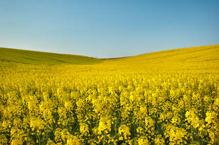 Yellow field rapeseed in bloom Stock Photo - 12733817