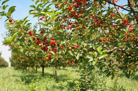 arbol de cerezo: Cerezas maduran en los árboles frutales Foto de archivo