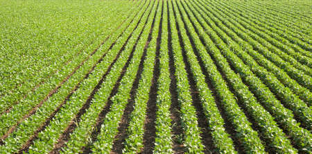 crop cultivation: soybean field with rows of soya bean plants