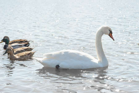 swans and wild ducks floating on the water  photo