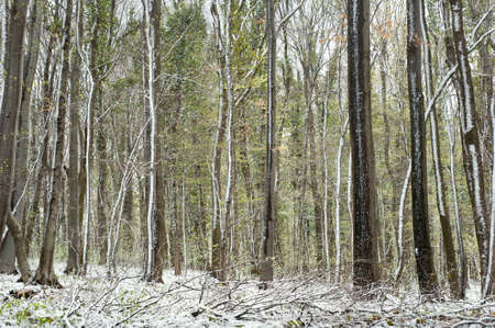 forest snowed in early spring photo