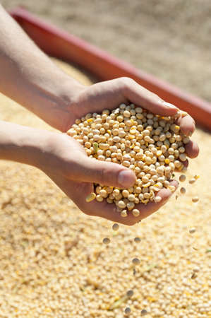 monoculture: Human hands pouring soy beans after harvest Stock Photo