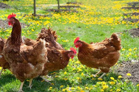 Hens outside in the meadow photo