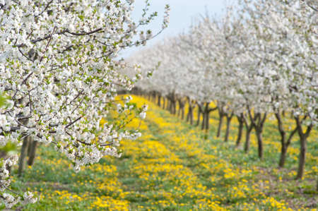 apple orchard: Blossoming apple orchard  in spring