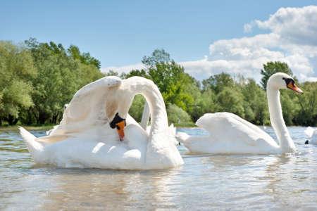 cisnes: cisnes blancos flotando en el agua