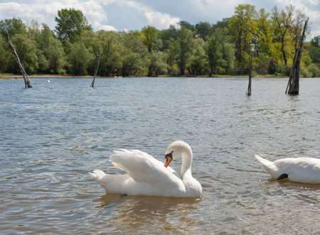 white swans floating on the water Stock Photo - 13321725