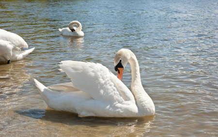 white swans floating on the water Stock Photo - 13321727