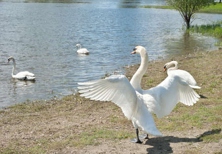 white swans floating on the water Stock Photo - 13321729