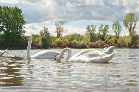 white swans floating on the water Stock Photo - 13321711