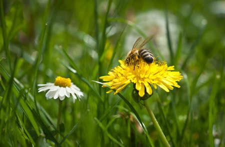 verlobt: Bee Arbeiten an gelben Löwenzahn.