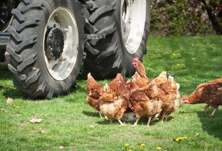 farmyard: poultry feeds in farmyard
