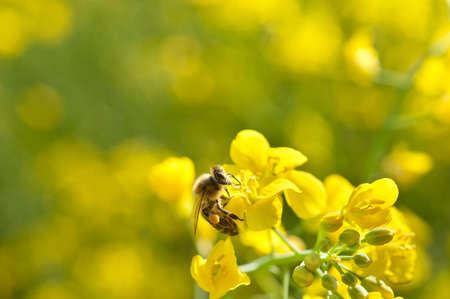 honey bee and oilseeds flower Stock Photo - 13544552
