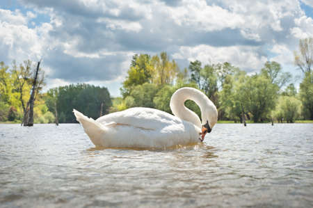 white swan  floating on the water Stock Photo - 13544553